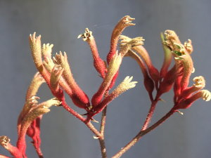 kangaroo paws - furry flowers