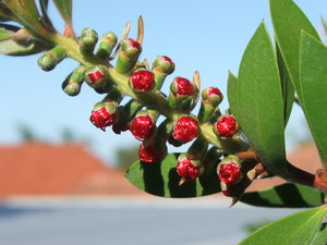 bottlebrush buds: red bottlebrush flower buds - Australian flora