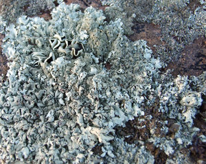 liking lichen: lichen cover stone wall