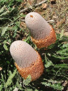 Banksia beauty