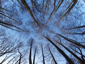 Look up: Tree tops in springtime against a blu skye.