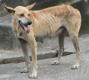 Dog's life 5: dogs of different shapes & sizes including skinny Burmese street dog