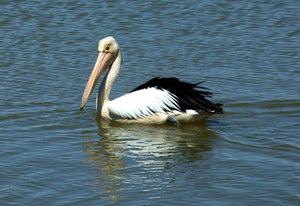 pelican reflections 2: pelican reflections
