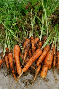 carrots!: Carrots from my garden before and after washing. It was a sad harvest this year, but my first attempt a growing carrots. haha. Please comment.