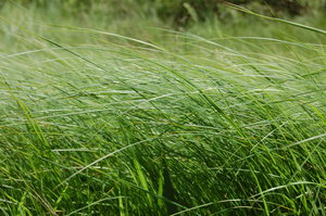the flowing grass