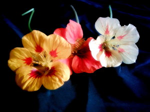 Nasturtiums 1: These flowers are all from the same plant. They change colour as they age. Humble flowers, but incredibly pretty. Slightly enhanced in PhotoImpact.