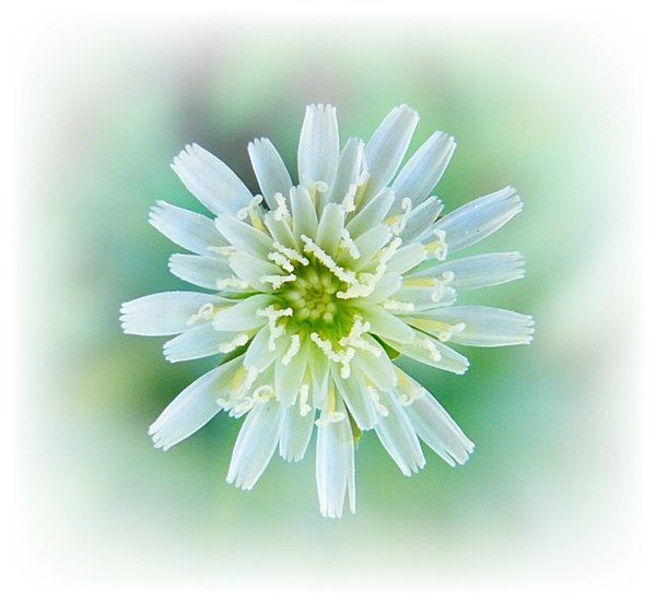 Little White  Flower: Macro shot of a very tiny weed flower, with added vignette.