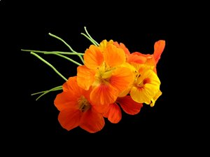 Nasturtiums 9: An arrangement of nasturtiums on a black background. Very pretty.
