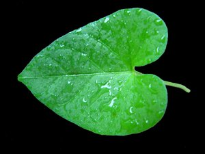 Heart Shaped Leaf: Heart-shaped leaf after the rain, against a black background.