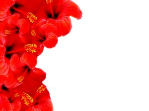 Floral Border 30: A beautiful red hibiscus floral border on blank white page. Lots of copyspace.