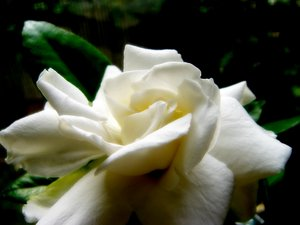 Gardenia in Soft Light