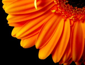 Gerbera Daisy Quarter - Orange