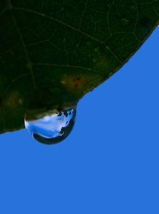 Raindrop Reflections: A raindrop hanging from a leaf, reflecting the sky and trees.