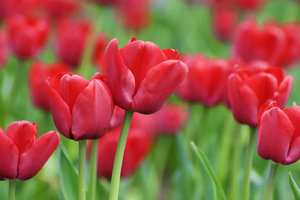 Red tulips: Spring flowers blooming