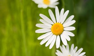 Summer daisies: summer daisy background