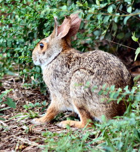 Wild Rabbit: Found him in Seabrook, Texas