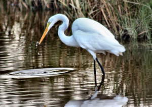 Heron Drinking: Heron getting a drink in a swamp
