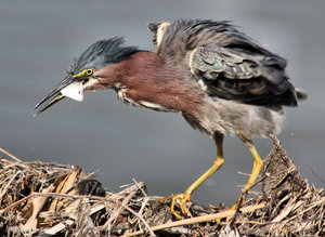 Green Heron With his Lunch