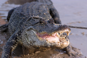 American Alligator: 5-30-09 an American Alligator swam around the shores of ElJardin (Seabrook area) for a number of hours. I got some pictures of him in the water and then men came with a rope and unfortunately dragged him onto shore. He was young. Probably no more than 7 o