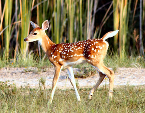 Baby Bambi: Beautiful baby deer
