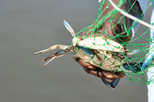 Blue Crab: Caught blue crab in net