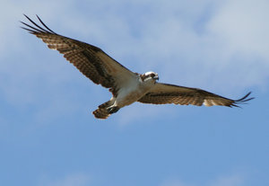 Goshawk: This hawk had about a 5 foot wingspan and was blying above me on the Texas gulf Coast.