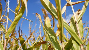 Corn field 2: Corn field under a beautiful blue sky. Format 16:9. 