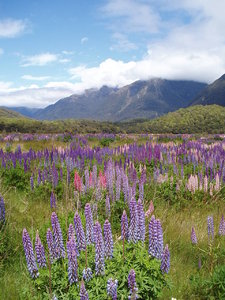 Lupins in the valley: View from Cascade Creek Campground, Fiordland National Park. January 1, 2007