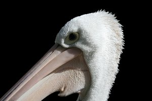 Pelican 1: Taken at the Adelaide Zoo. Love these guys.