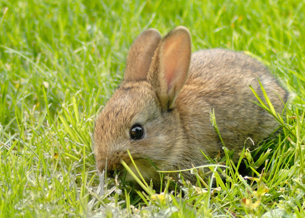 Baby rabbit 1: A baby rabbit in my garden in Suffolk England