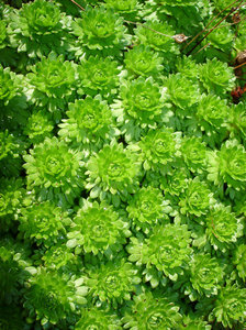Saxifraga, Fairy: Outdoor alpine plant. Interesting pattern created by this lusious green plant
