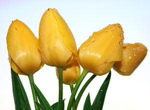 yellow tulips 1: yellow tulips
