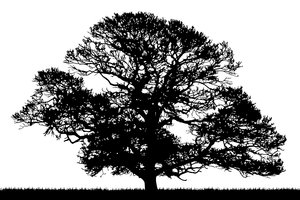 Oak Silhouette: Oak tree silhouette.  Vectorised photograph.