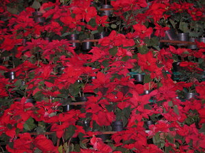 Pointsettia: A collection of christmas flowers. By the way... Do you know this flower is native from Mexico and here is called