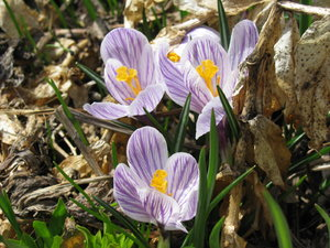 Crocus 1: Crocus flowers, early spring. It snowed here yesterday, but if you look closely, you can still find spring.