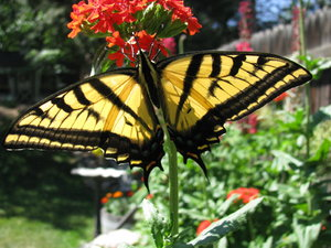 Swallowtail 6: The Two-Tailed Swallowtail butterfly in my garden today. I was there to take more shots of flowers and was shocked to come across this one.