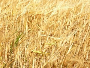 Barley: Barley ready to harvest, in the wind