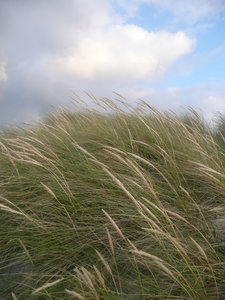 Dune Grass: Dune grass in the wind