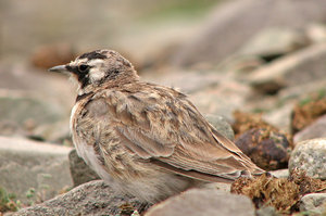 Horned Lark: Horned Lark at Rhumbak, Ladakh, India.