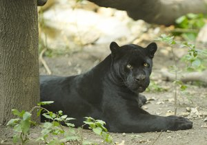 Black jaguar in rest