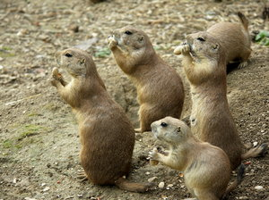Prairie dog's group