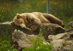 Brown bear resting: Brown bear resting in Arctic Zoo, Norway