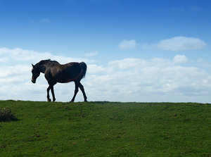 Horse: Dutch landscape