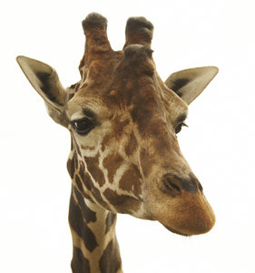 Giraffe: Portrait of a giraffe in Gyor Zoo, Hungary