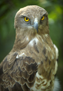 Portrait of a buzzard: portrait of a snake-eater buzzard