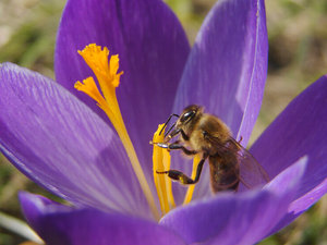 bee on crocus 1