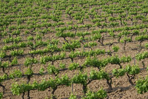 South of France vineyard