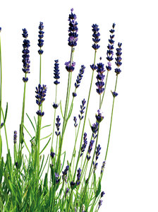 lavender: No description