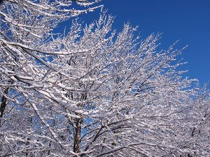 snow covered tree: No description