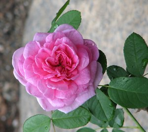 Wild Rose: No description